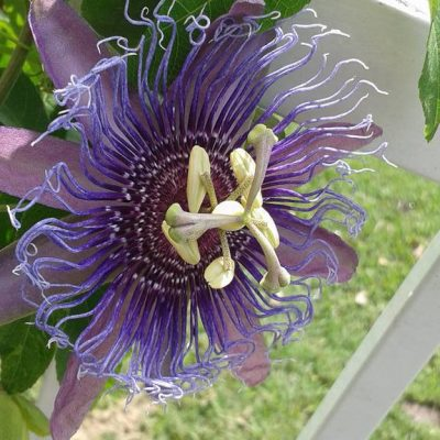 Healing in Circles: Passionflower & the Mandala