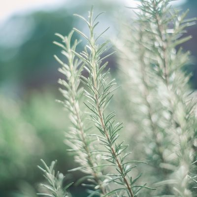 Rosemary Recipe Roundup